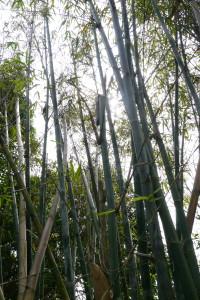 bamboo in peng chau