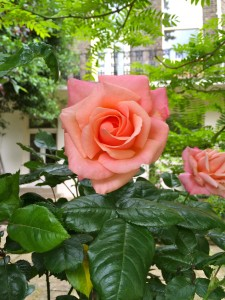 crescent garden rose