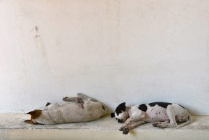 burmese dogs