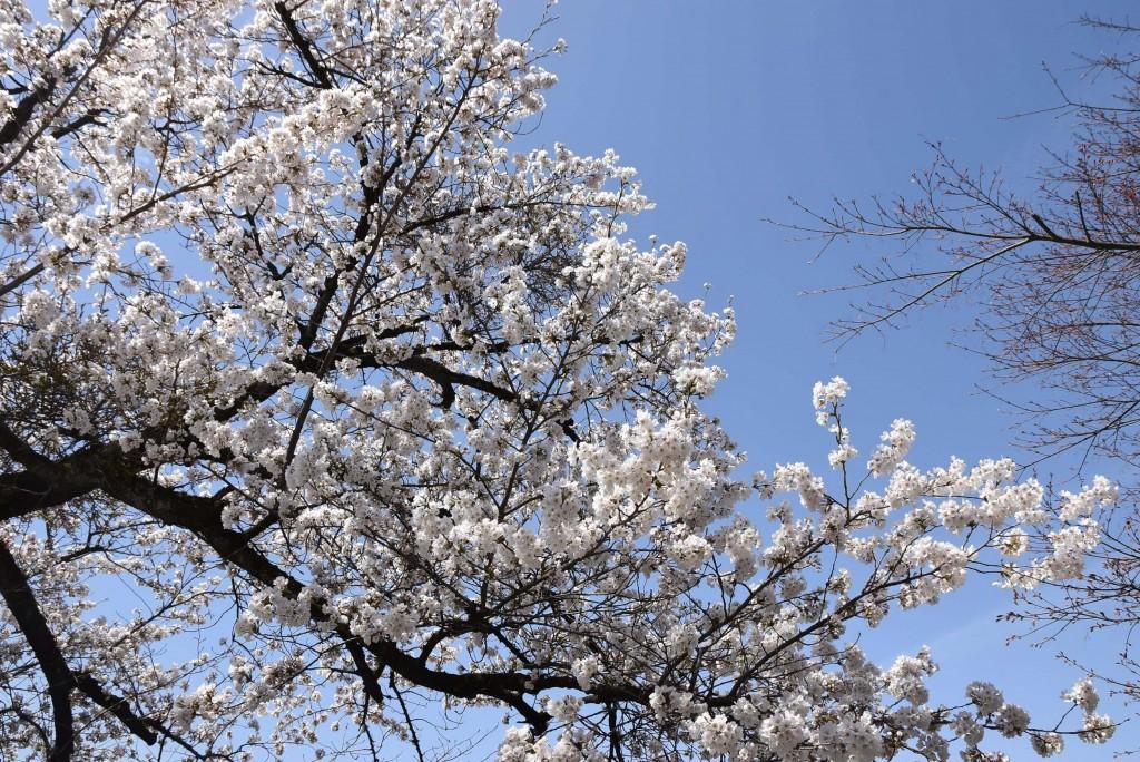takayama cherry blossom