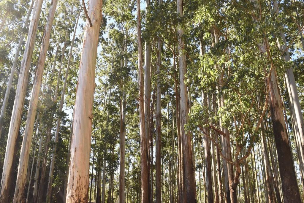munnar tree