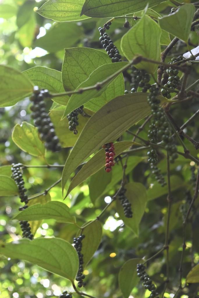 greenland spcie & ayurvedic garden black pepper