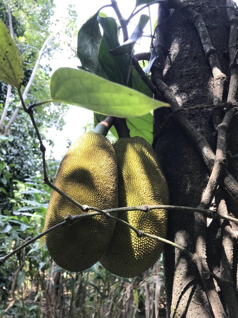greenland spcie & ayurvedic garden jackfruit